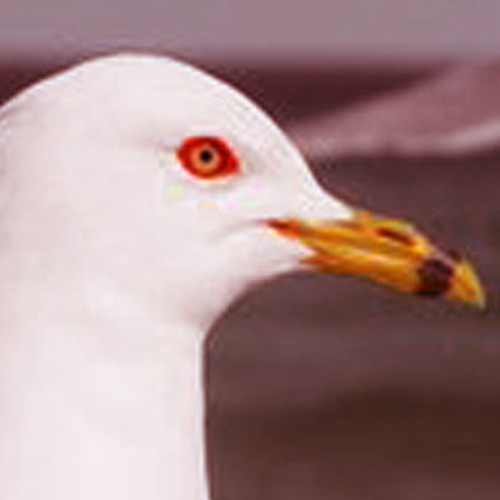 Seagull12 (Rτєfive/Bicipital Groove)