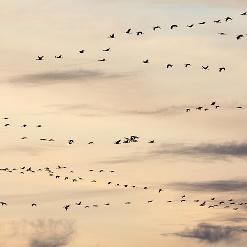 Eurasian Cranes during autumn migration in Matsalu