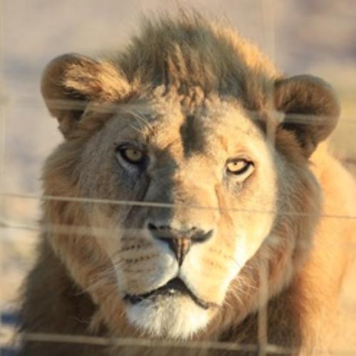 Lions - Bad Boy Angry
