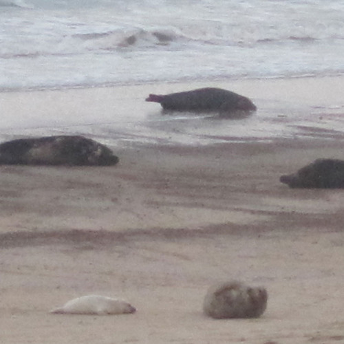 GREY SEALS: Mum with pup defending their patch on the beach from other seals.