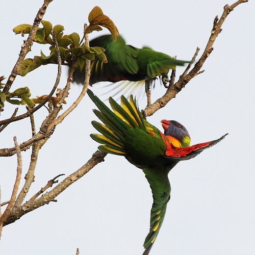 Pair of Rainbow Lorikeets Nesting