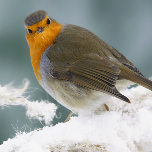 Christmas story about the Red Robin for BBC