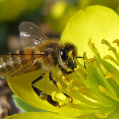 Bees: The Threatened Link in Food Security
