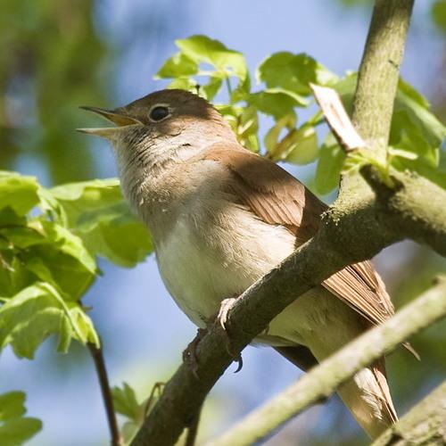 Korgus - Nightingale