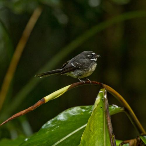 Grey Fantail - Rhipidura fuliginosa
