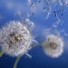 20 ปีวาตาโบชิ - Little Dandelion