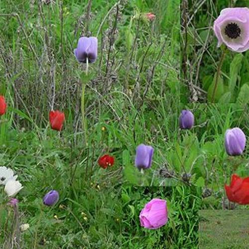 """Ποίημα: """"Οι Ανεμώνες"""" / Poem: """"The Anemones"""", της Ιωάννας Μουτσοπούλου"""