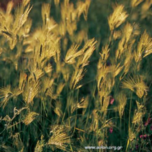 """Ποίημα: """"Λατρευτικός Σίτος"""" / Poem: """"Wheat of Worship"""", του Γιάννη Ζήση"""