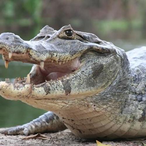 Crocodile (Original)