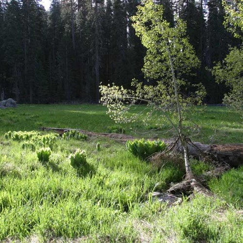 Crescent Meadow Creek and Pacific Treefrogs - Sequoia National Park