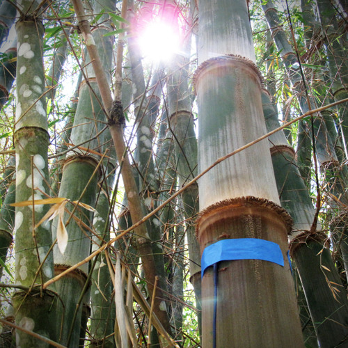 Bamboo in Wind  (Stereo Contact Mics)