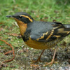 Varied thrush and others