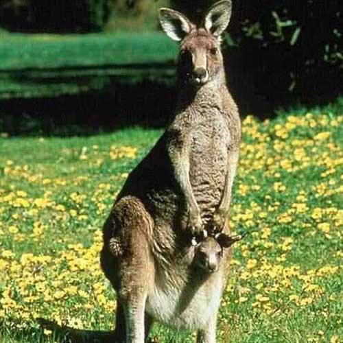 Kangaroo (DudeWar)