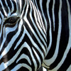 Easy on the eyes - Zebra phrase