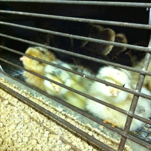Baby chicks at Callahan's General Store