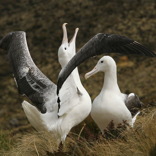 Southern Royal Albatrosses on Campbell Island, NZ