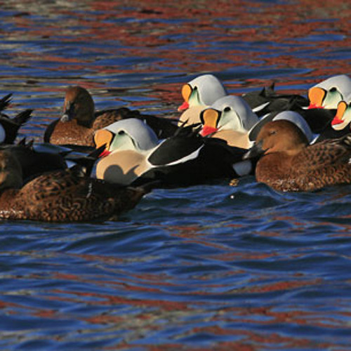 Displaying King EIders