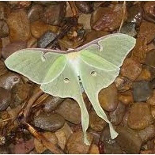 Flight of the Lantern Moth