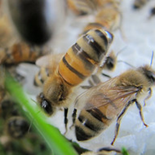 Bees: The Great Sunflower Project