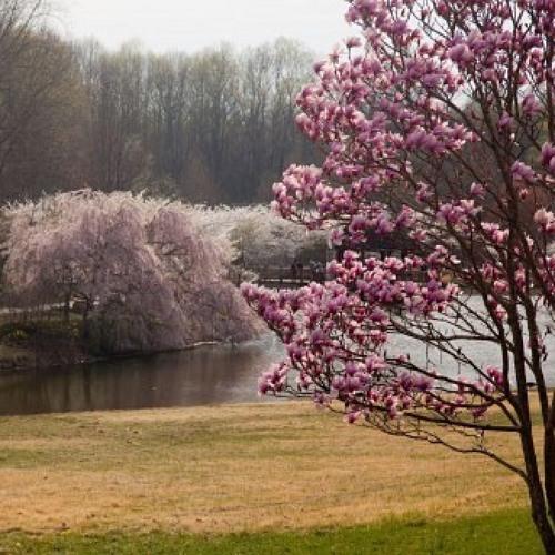 Wenn Magnolien und Kirschbäume explodieren
