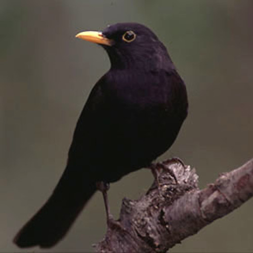 Blackbird (Cover Beatles)
