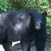 Black bear and cubs nursing