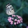 Saxay- Butterfly