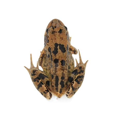 Jones - Frogs