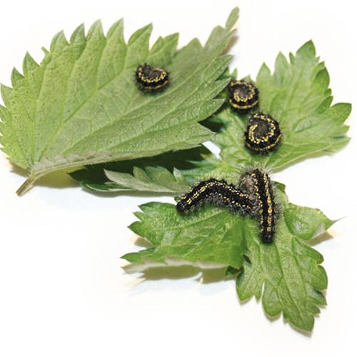 Jones - Caterpillars Feeding