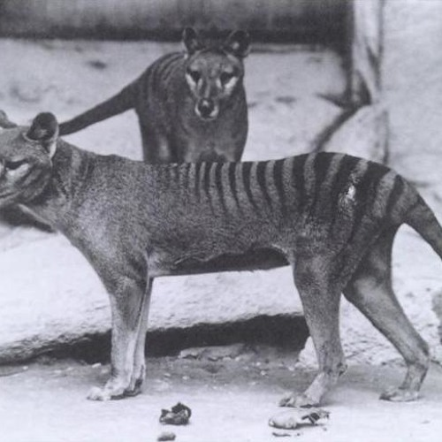 UCL News Podcast (18/04/12): Thylacine skeletons at the Grant Museum of Zoology