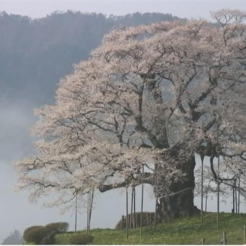 桜の木 - Soundtrack