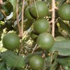 Climate change driving macadamia farmers nuts