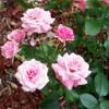 I Can Still Smell The Roses ( lyrics T A Schmid   Guitar/vocals David O Connor)