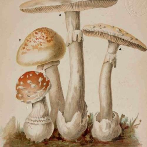 Mushroomous Poison