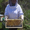 Dr. Marla Spivak's honey bees