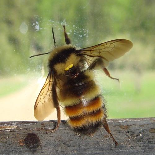 Gigantic Bumble Bee