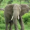 Elefantes Color Negro