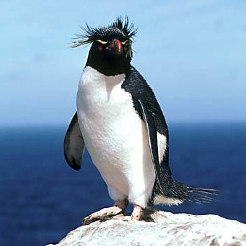 He is a Penguin, period