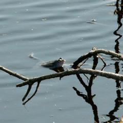 frog pond, April 21st 9.00pm