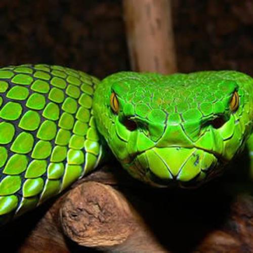 Delas - Serpent
