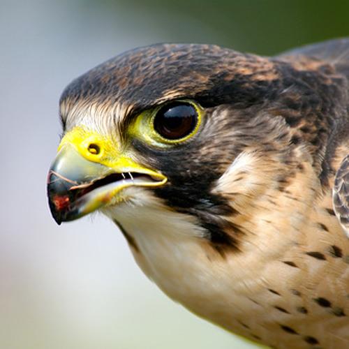Falcon - Professor Martin