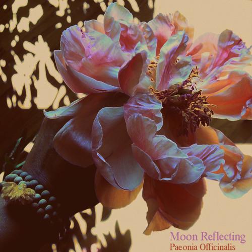 Moon Reflecting - Paeonia Officinalis
