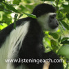 Colobus Monkeys calling at Mount Meru, Tanzania - intro by Andrew Skeoch