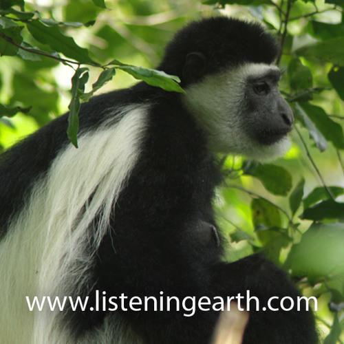 Colobus Monkeys calling at Mount Meru, Tanzania - intro by Andrew Skeoch
