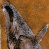 Megaptera novaeangliae