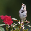 I Try to Harmonize with Songs the Lonesome Sparrow Sings