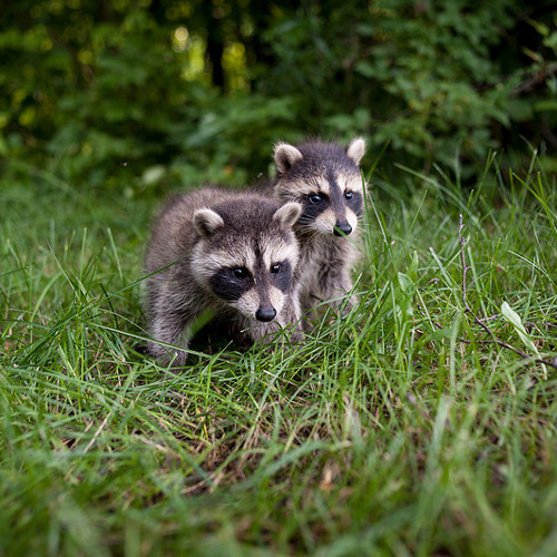 143 - Baby Racoons Twittering