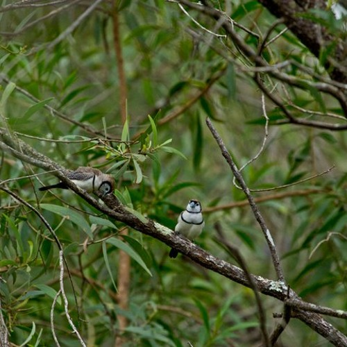 Winter Solstice 21 June 2012 - Double-barred Finch - Taeniopygia bichenovii