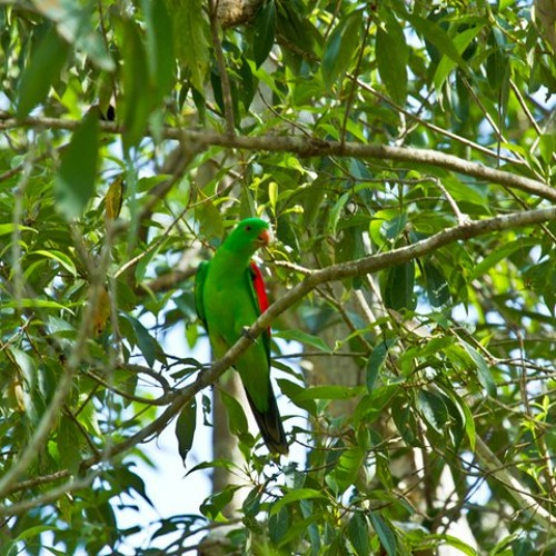 Winter Solstice 21 June 2012 - Red-winged Parrot - Aprosmictus erythropterus