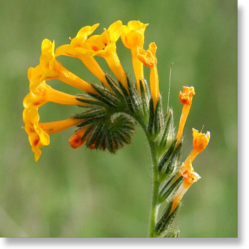 Fiddlenecks (rough edit)